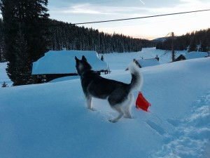 Husky looking over edge of snow bank